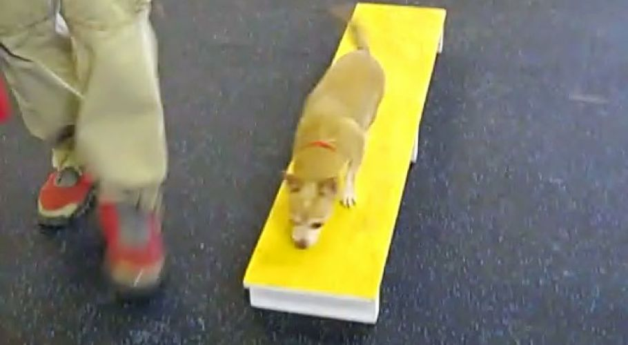 frieda the chihuahua in fitness class 20100116 1772011683