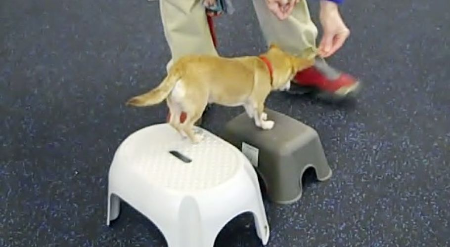 frieda the chihuahua in fitness class 20100116 1786400405